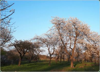 Fotografie kvetoucího třešňového sadu vberounské Třešňovce