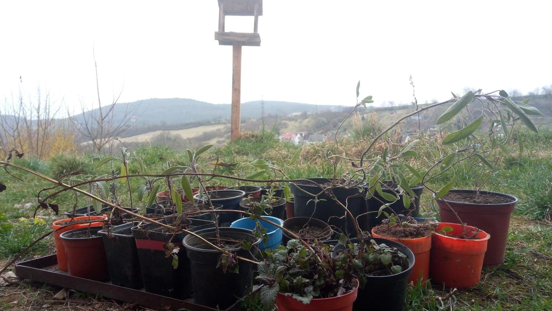 Fotografie předpěstovávaných sazenic pro budoucí výsadbu v Talichově ulici v Berouně