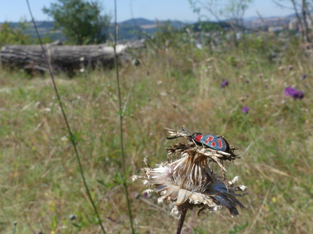 vřetenuška ligrusová na berounské Třešňovce