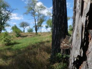 dospělý jedinec Okáče metlicového na berounské Třešňovce